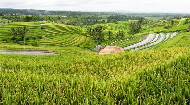 Bali Jatiluwih rijstvelden