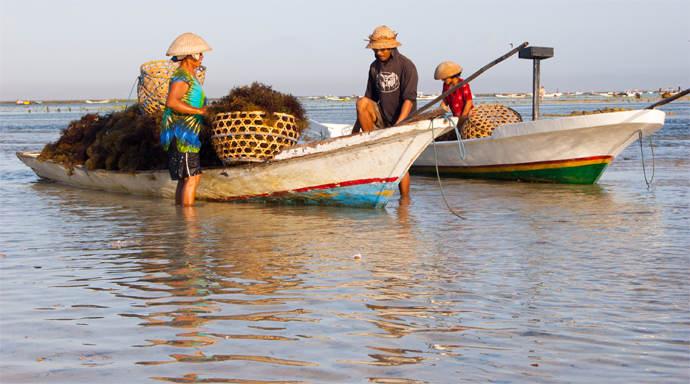 Nusa Lembongan zeewier oogsten bij Jungutbatu Beach