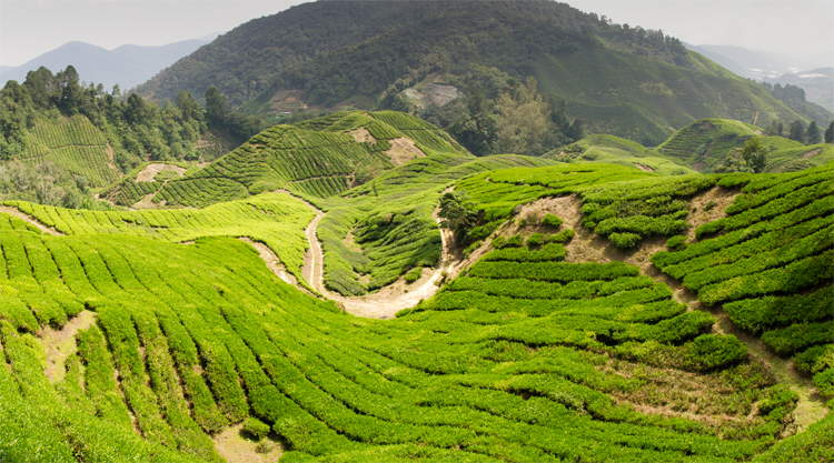 Cameron Highlands backpacken Maleisie