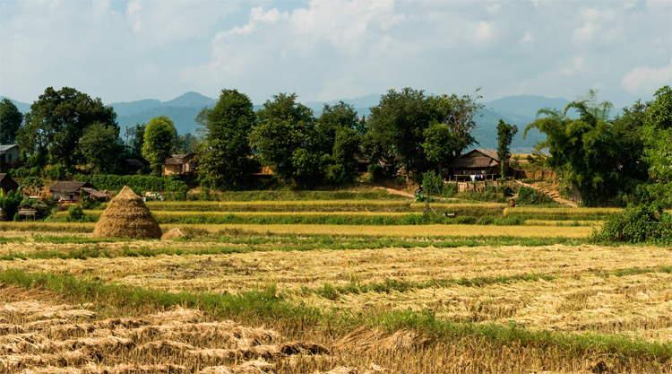 Rijstvelden Hsipaw in Myanmar