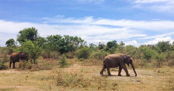 Olifanten in Udu Walawe National Park